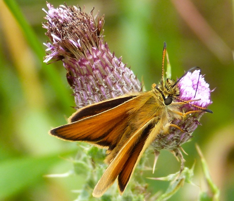Large Skipper, Oxburgh Hall Norfolk 1