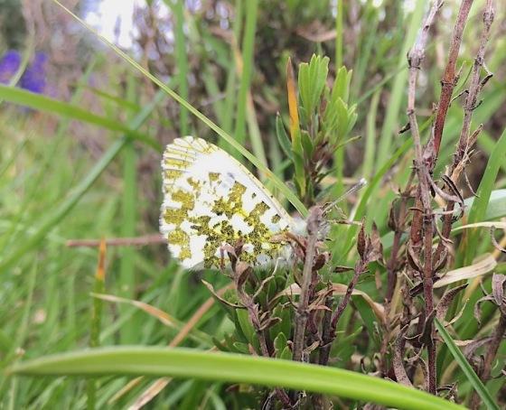 Orange Tip Butterfly (female) Dorset.jpg