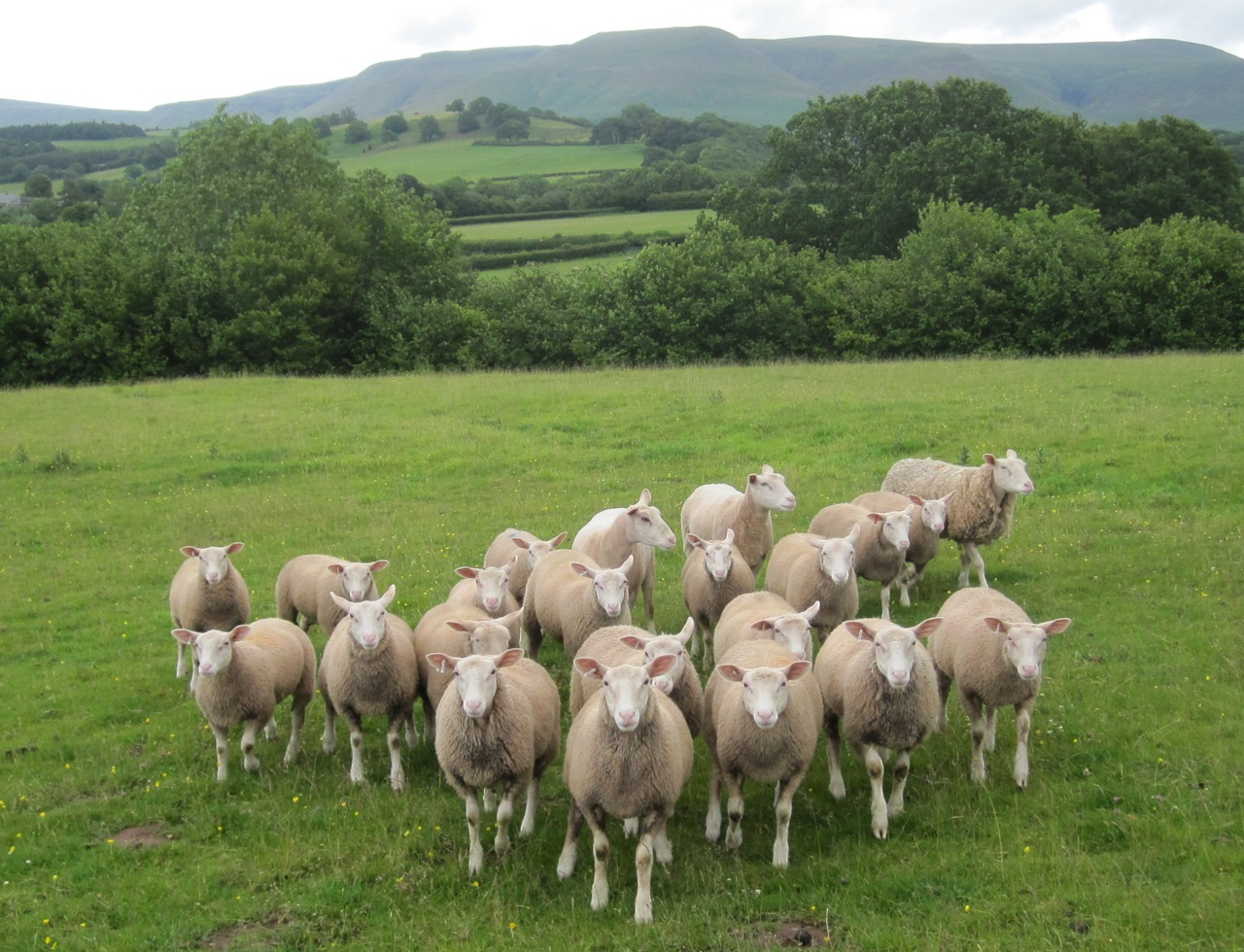https://rollingharbourlife.files.wordpress.com/2011/10/sheep-wales.jpg