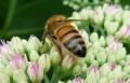 Cliveden Bees 8