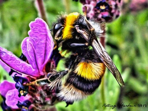 Bombus Lucorum / White-tailed Bumble Bee