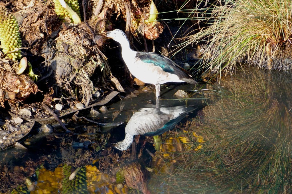 Comb Duck (female) 1