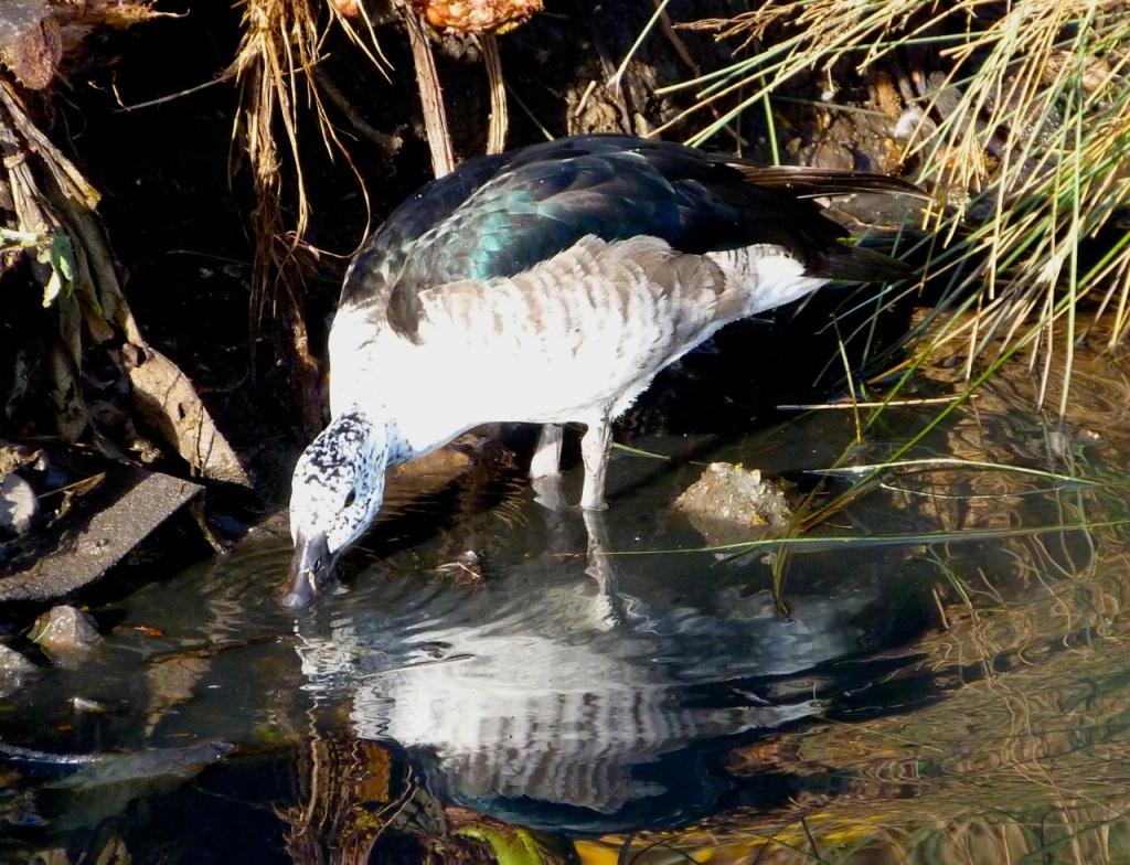 Comb Duck (female) 2