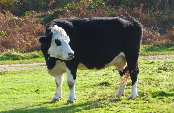 Cows IoW 2