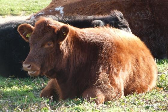 Cows IoW 3