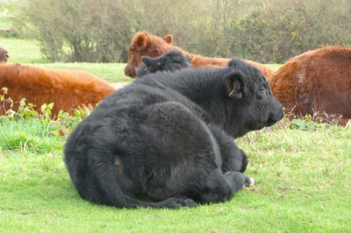 Cows IoW 4