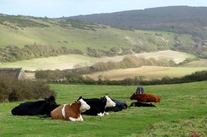 Cows IoW 6