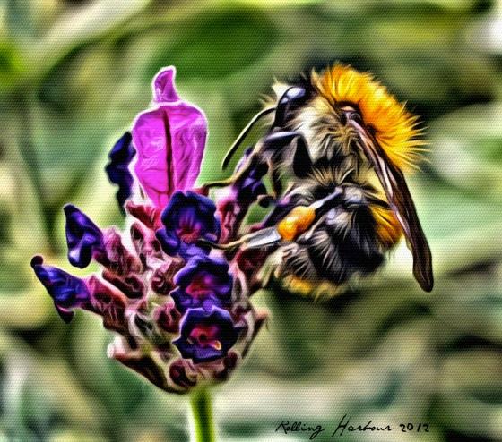 Bombus Pascuorum / Common Carder Bee
