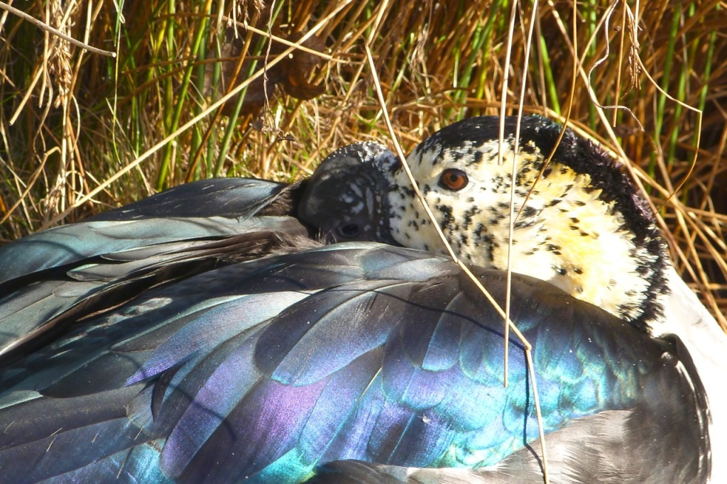 Knob-billed Duck (Sarkidiornis melanotos), or Comb Duck 2