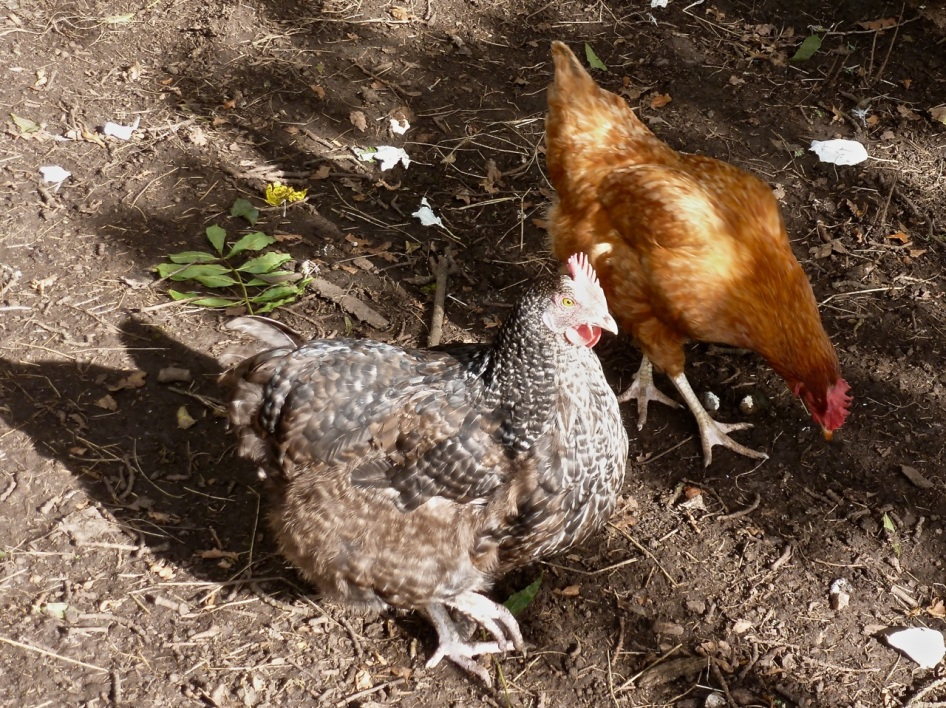 Hens in the Paddock 4