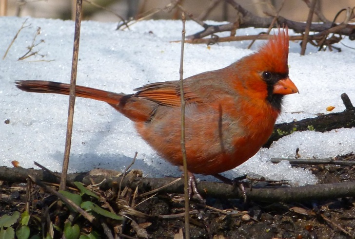 Northern Cardinal NYC 1