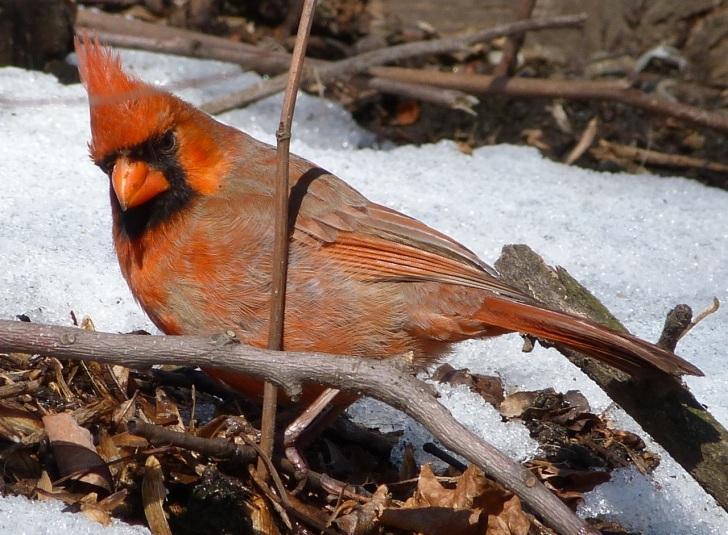Northern Cardinal NYC 2