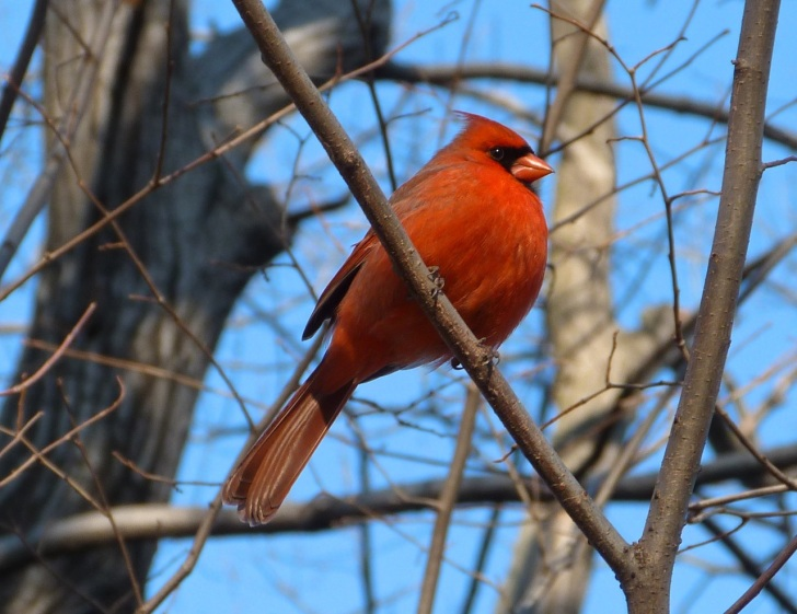 Northern Cardinal NYC 3