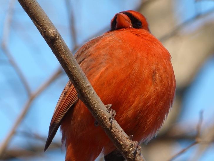 Northern Cardinal NYC  4