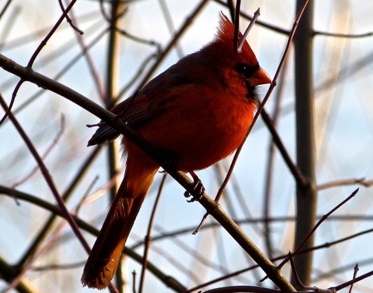 Northern Cardinal NYC 6