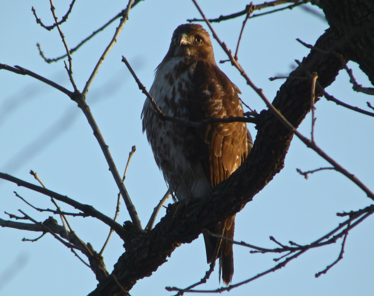 Red-tailed Hawk CP 1