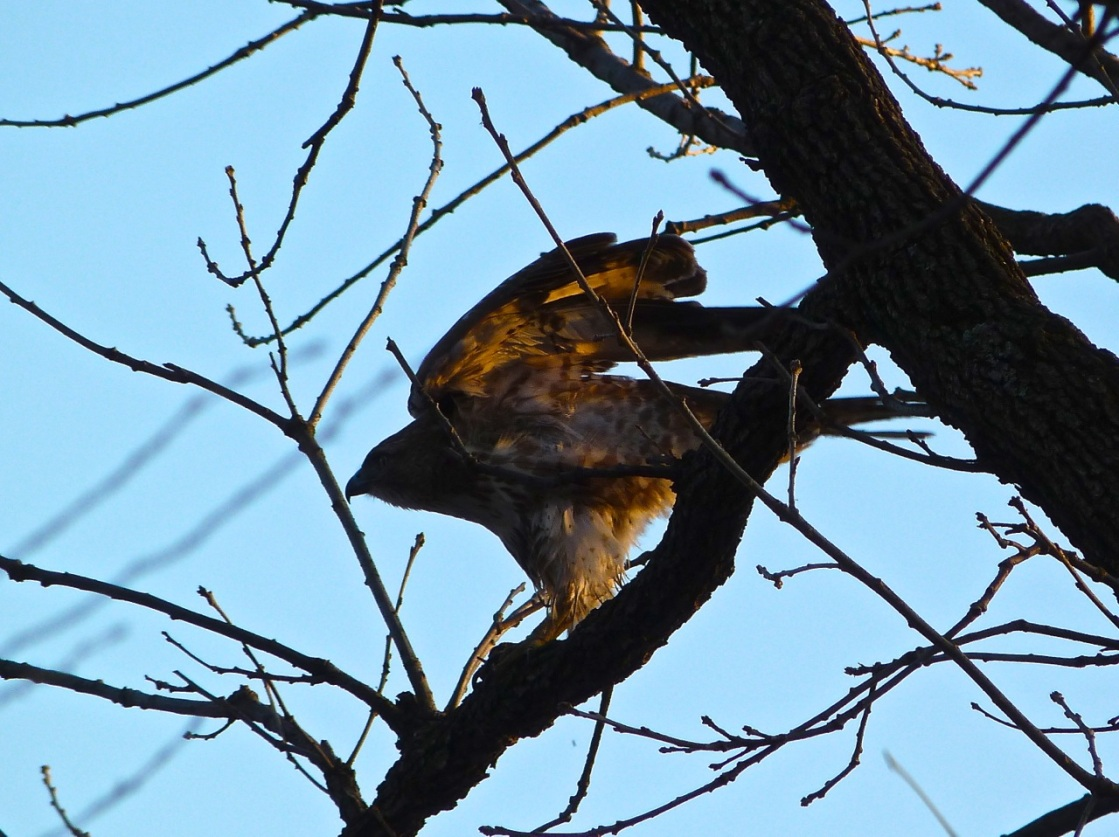 Red-tailed Hawk CP 3