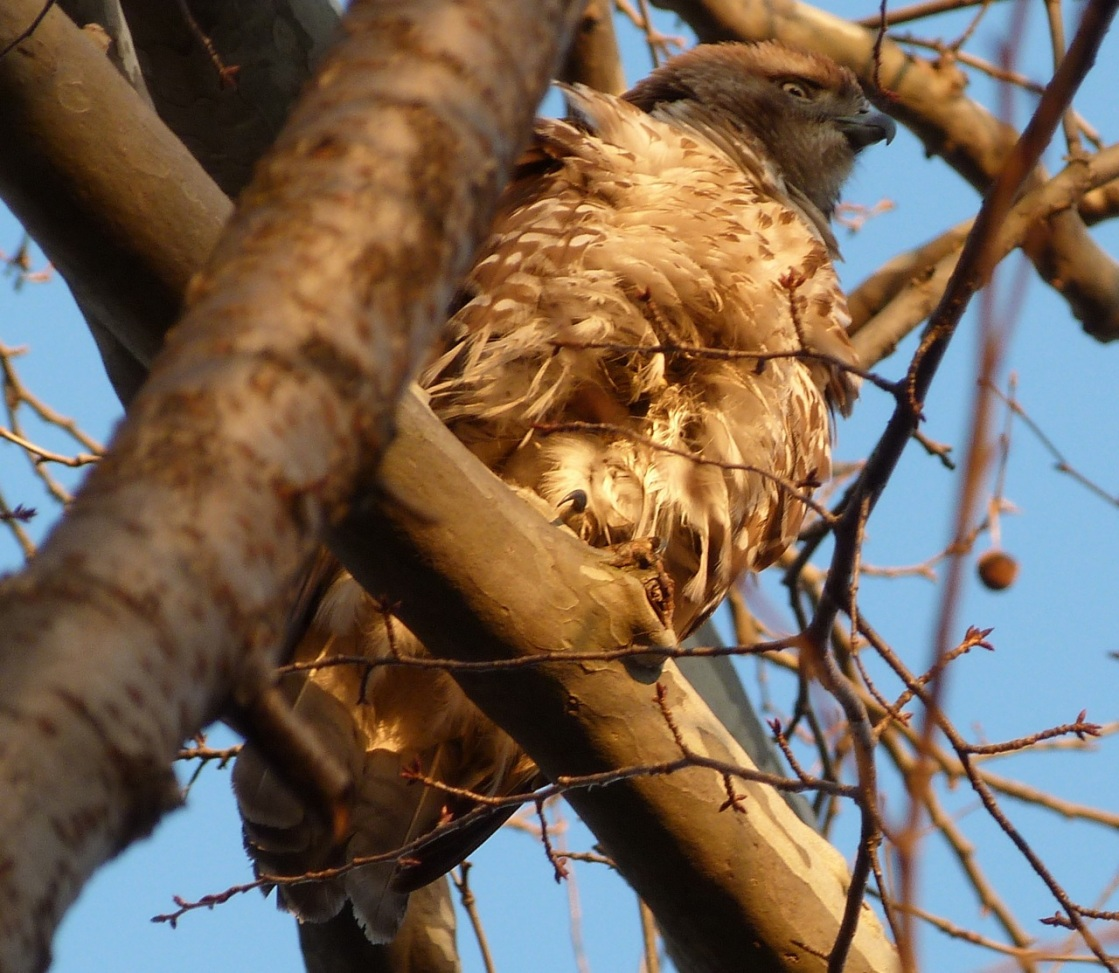 Red-tailed Hawk CP 4