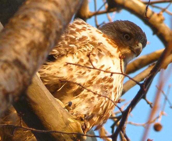 Red-tailed Hawk CP 5