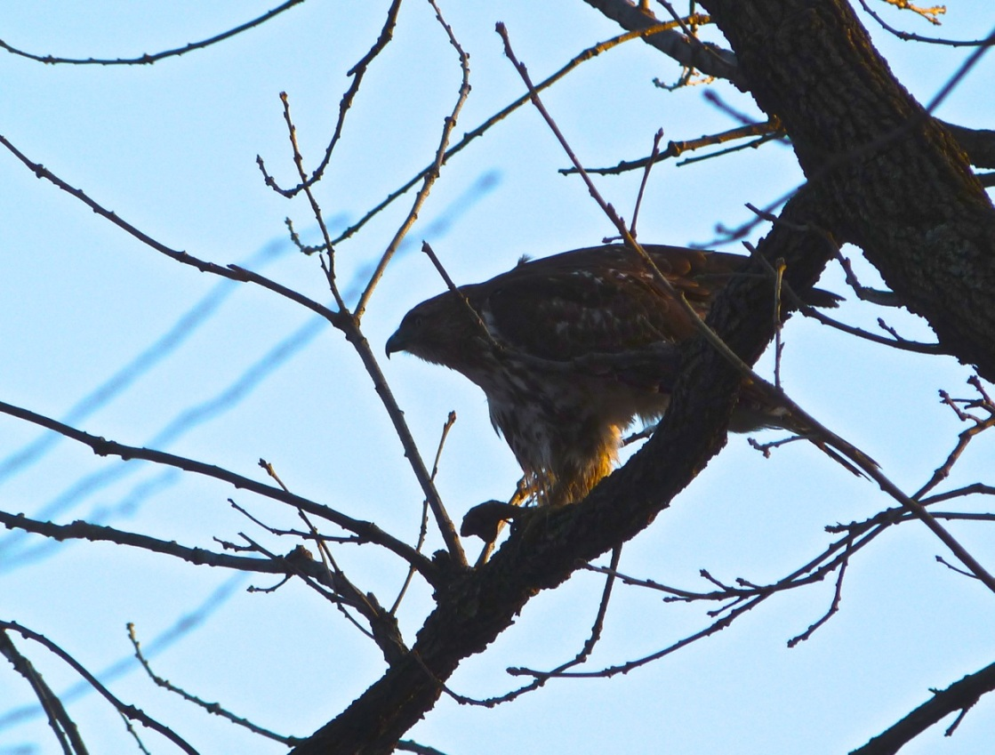 Red-tailed Hawk CP 6