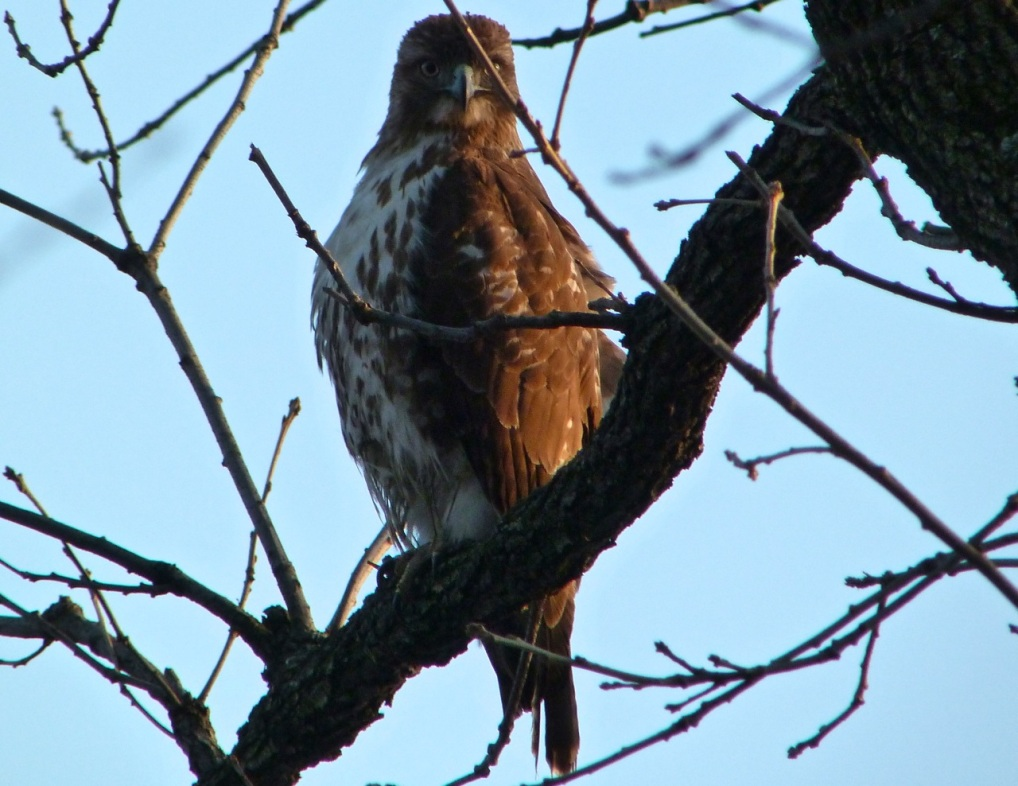 Red-tailed Hawk CP 7