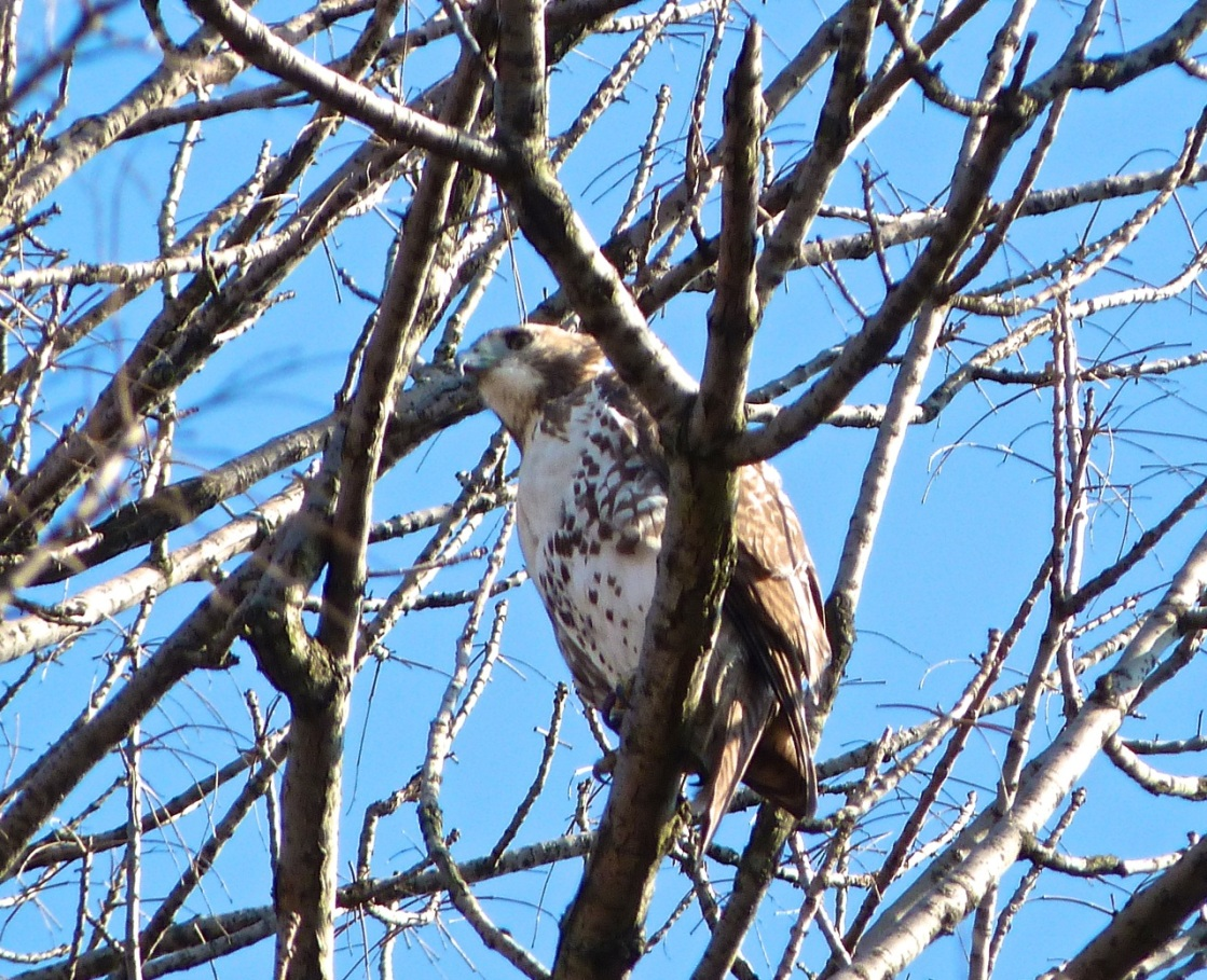 Red-tailed Hawk PPB 1