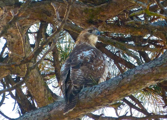 Red-tailed Hawk PPB 6
