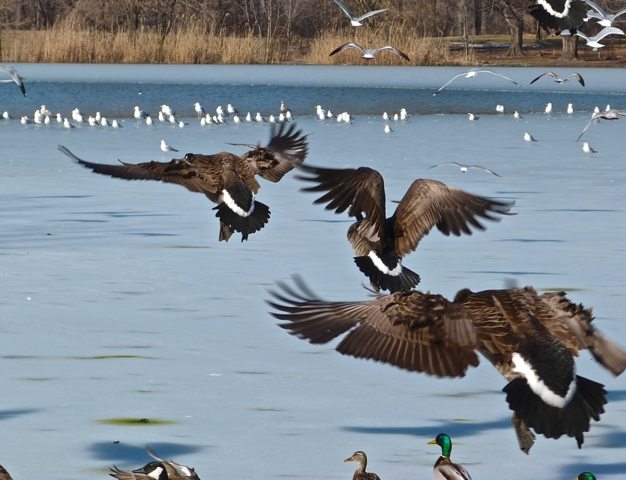 Canada Geese Prospect Park 2