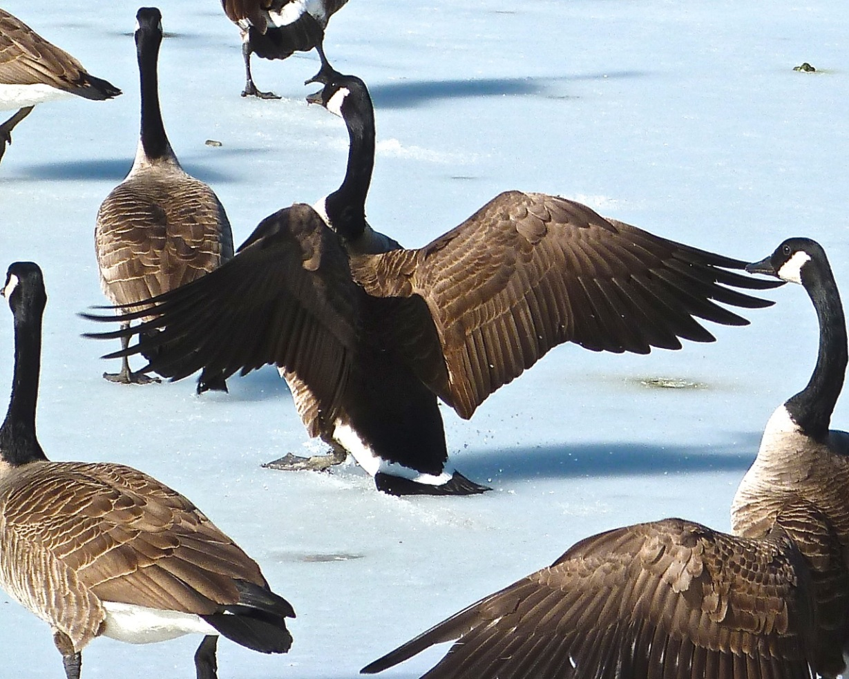 Canada Geese Prospect Park 7