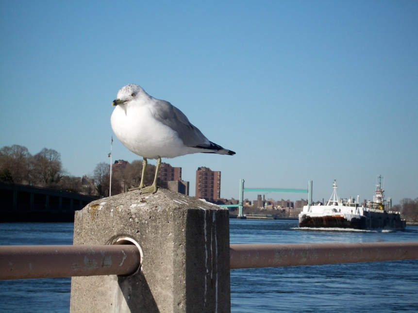 Gull, Ship & Lift Bridge, NYC
