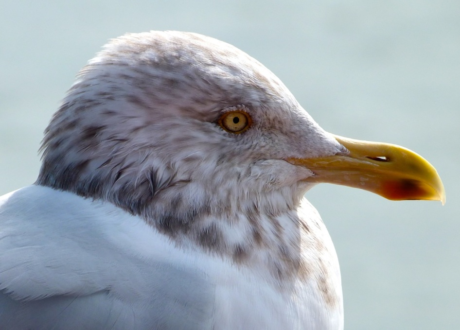 Herring Gull 5