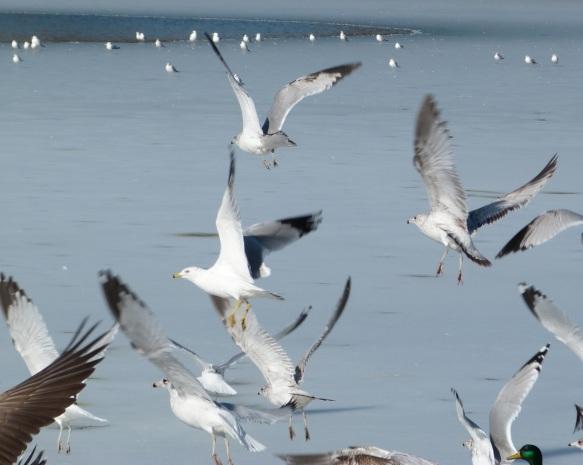 Prospect Gulls 1