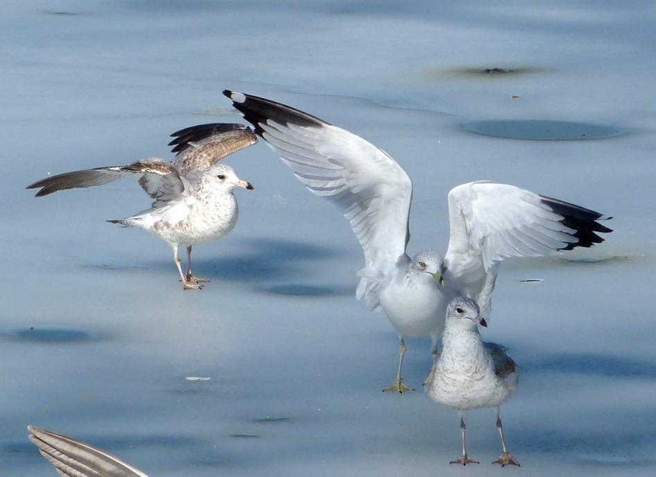Prospect Gulls 2