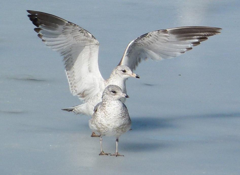 Prospect Gulls 3