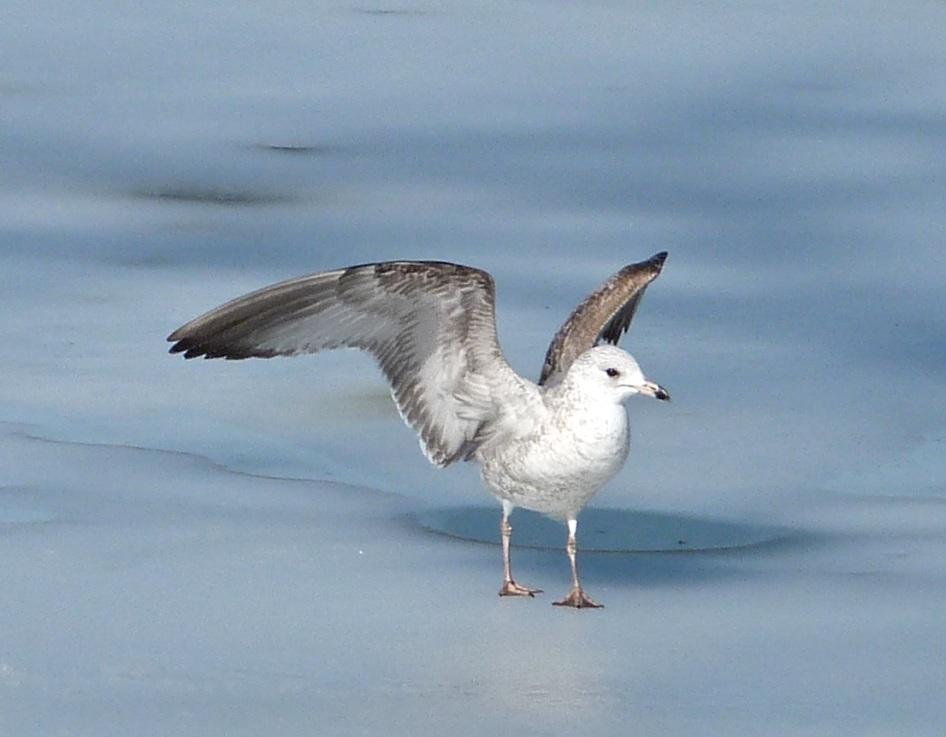 Prospect Gulls 4