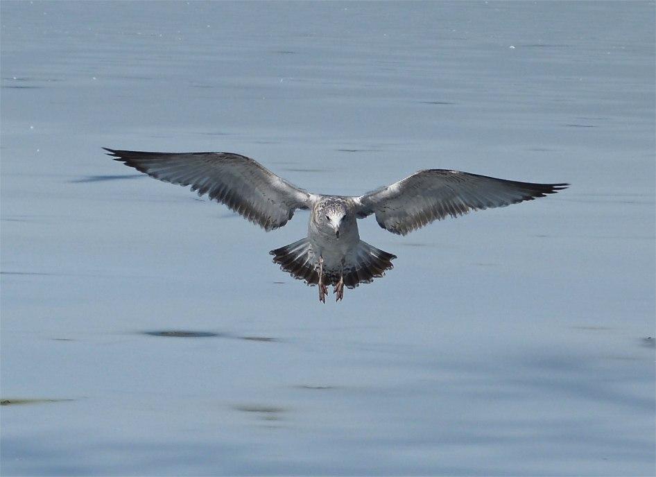 Prospect Gulls 5