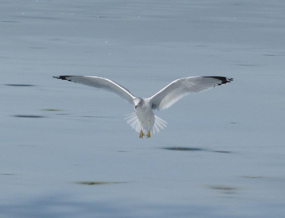 Prospect Gulls 6