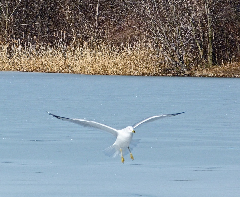 Prospect Gulls 7