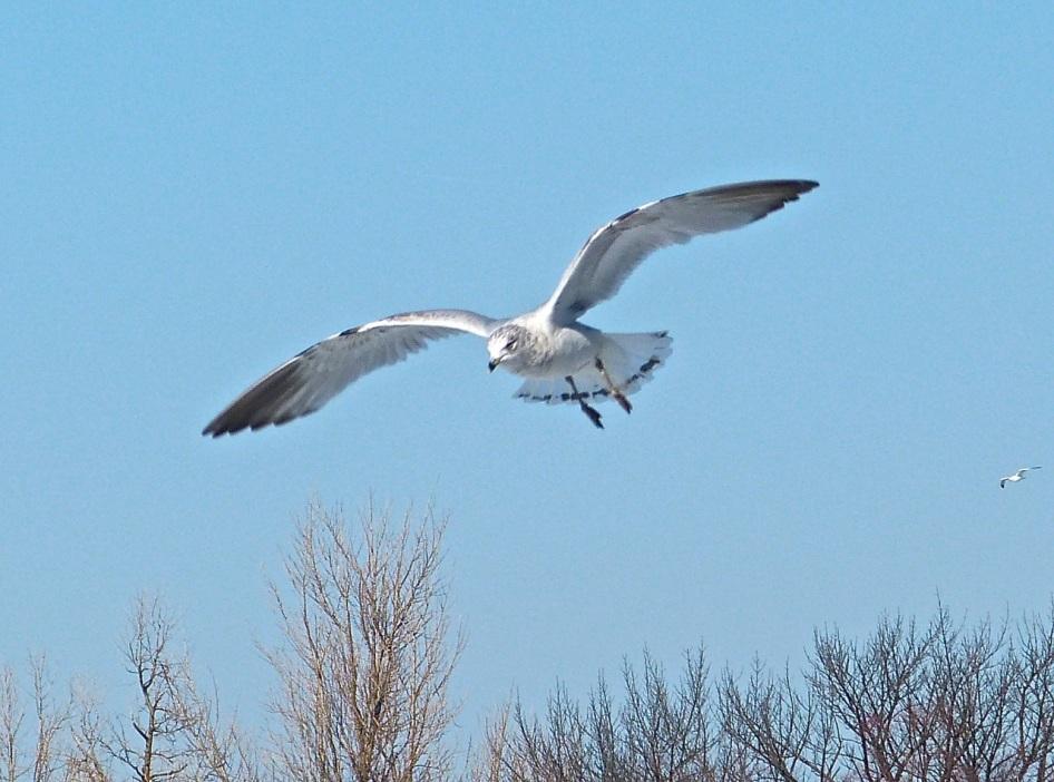 Prospect Gulls 8