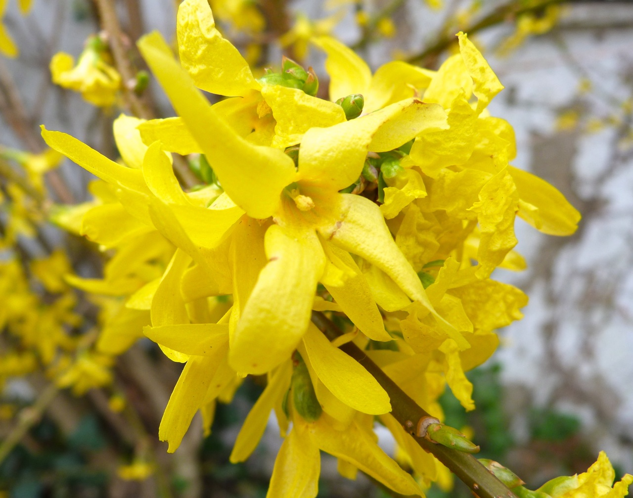 forsythia flower  rolling harbour gallery, Beautiful flower