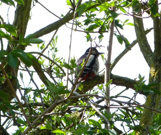 Great Spotted Woodpecker 1