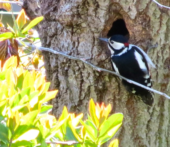 Great Spotted Woodpecker 11