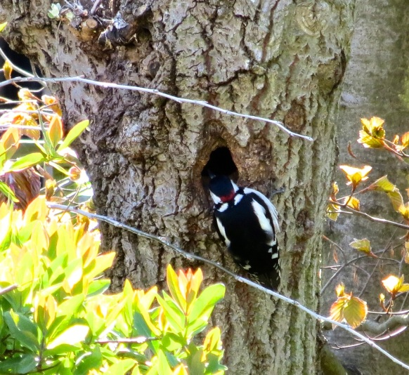 Great Spotted Woodpecker 12