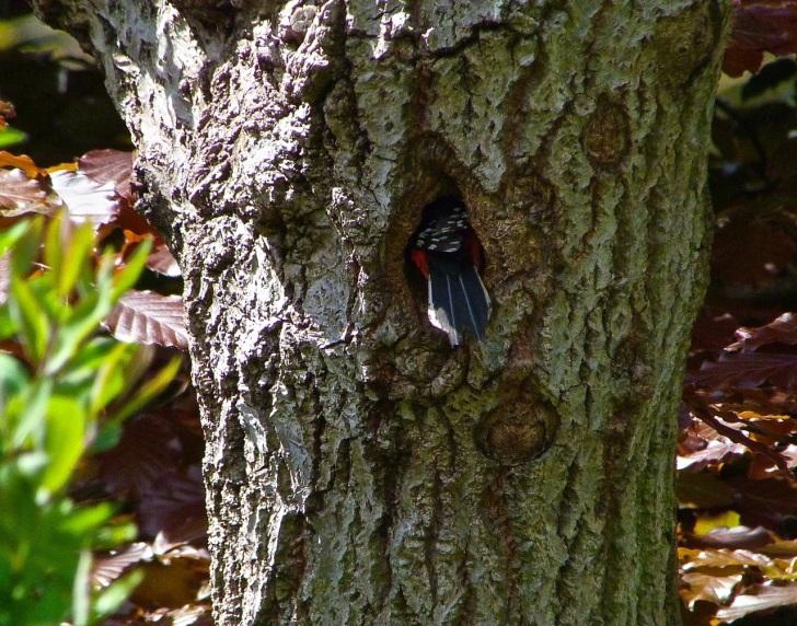 Woodpecker Fa