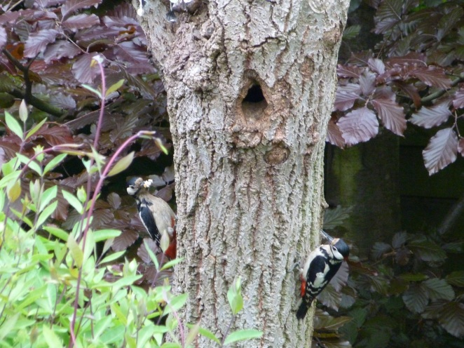 Woodpeckers 30.5 1