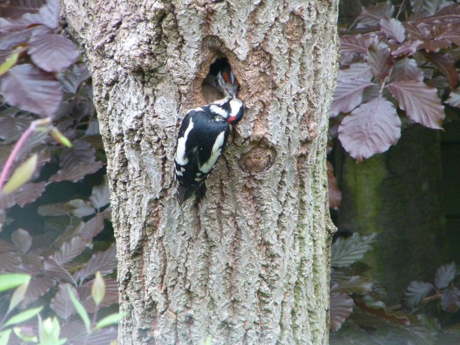 Woodpeckers 30.5 7