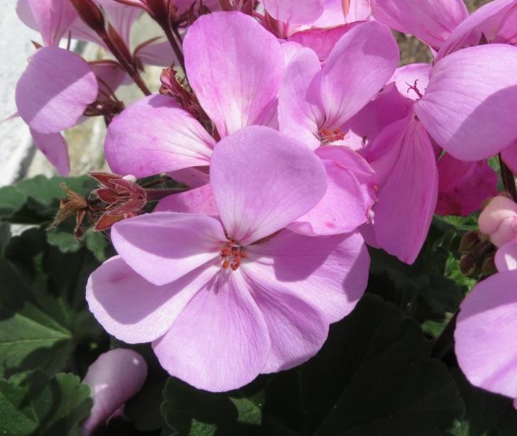 Summer garden flowers (Dorset) 1