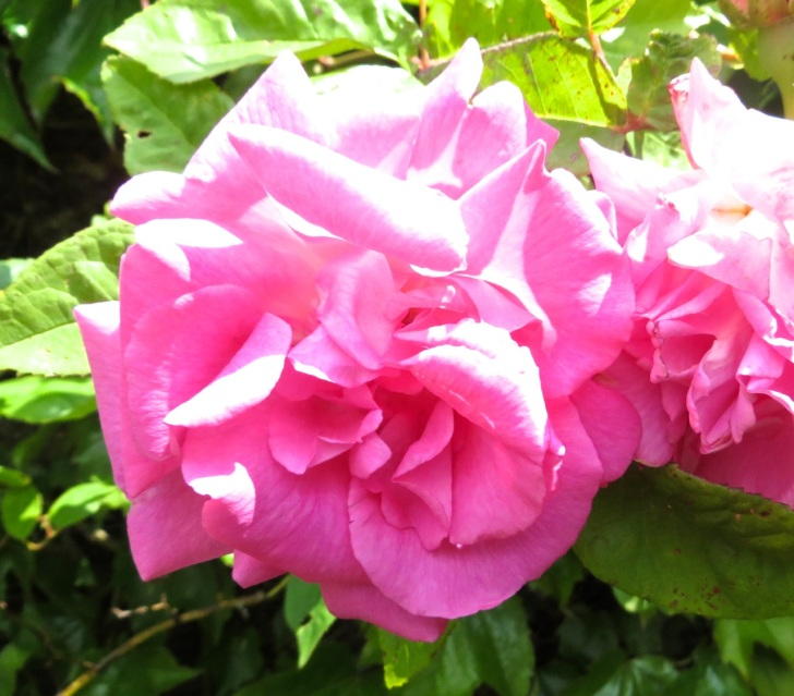 Summer garden flowers (Dorset) 10
