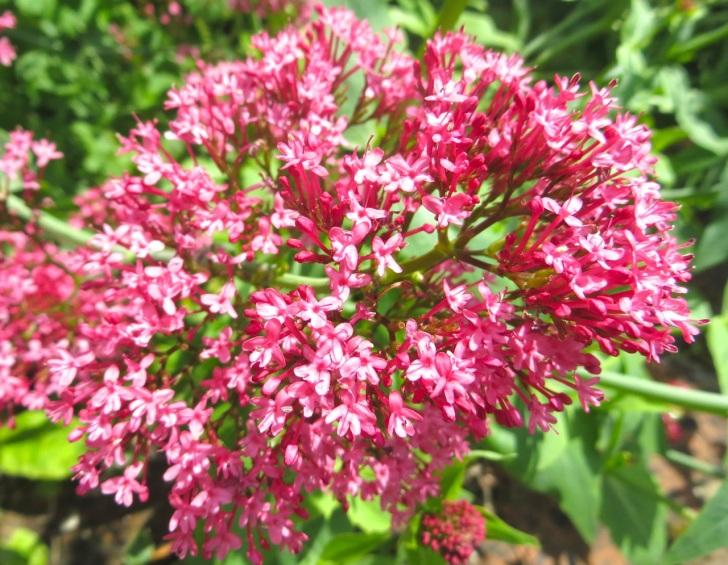Summer garden flowers (Dorset) 11