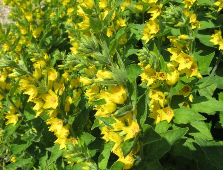 Summer garden flowers (Dorset) 12